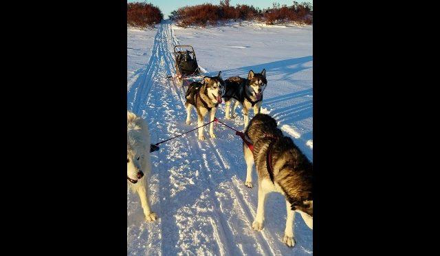 Malamutes n me hunting Caribou