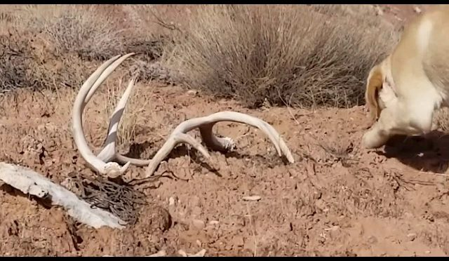 Amazing Deer shed hunt. Matching up the Giant! Part 1