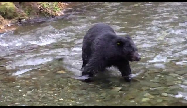Bear hunting fish In The River