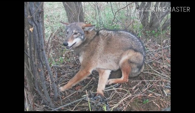 Coyote And Fox Trapping Dirthole And Snare Sets Huntingvideoshubcom