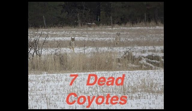 Coyote hunting 2019, 7 Kills