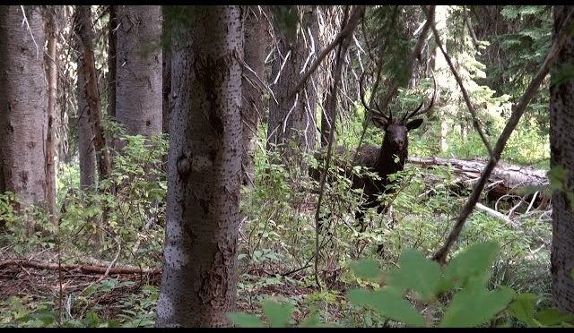 Elk hunting Montana 2018 – Bull elk going crazy