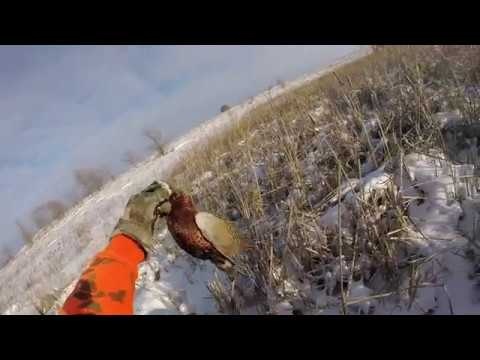 Pheasant Hunting in North Dakota 2018 GOPR2234 (Dog Catches Bird)