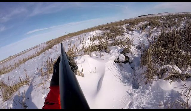 Pheasant Hunting in North Dakota 2018 GOPR2249 1 (Wounded Roody Gets Away)