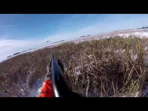 Pheasant Hunting in North Dakota 2018 GOPR2251 1