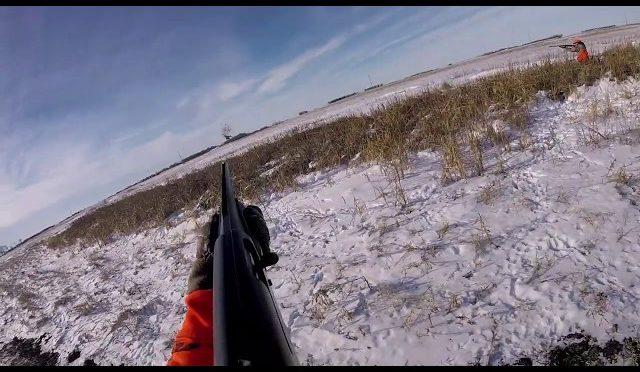 Pheasant Hunting in North Dakota 2018 GOPR2255 1