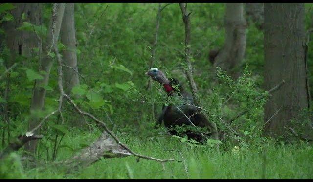 First Light Gobbler TEXTBOOK Turkey Hunt