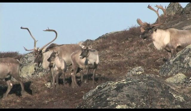 TWO GIANT BULLS DOWN!  Quebec Archery Caribou With Bob Fromme