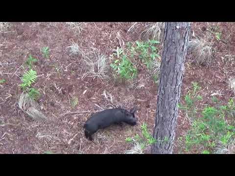 North Florida June Hog Hunt