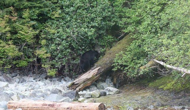 Fatal Bear Charge……. Running Hunter