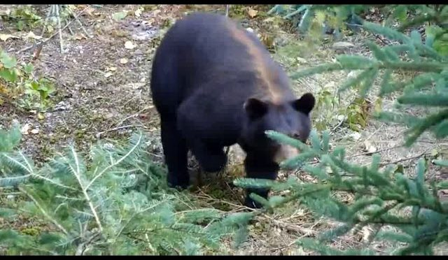 Ontario Black Bear Hunting  www.murraylake.net