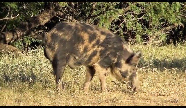 The Worst Hog Hunt On Youtube…