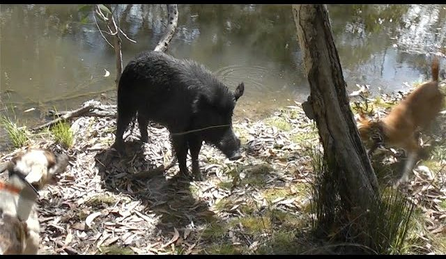 Boar hunting with dogs and a .357 in Cape York Australia