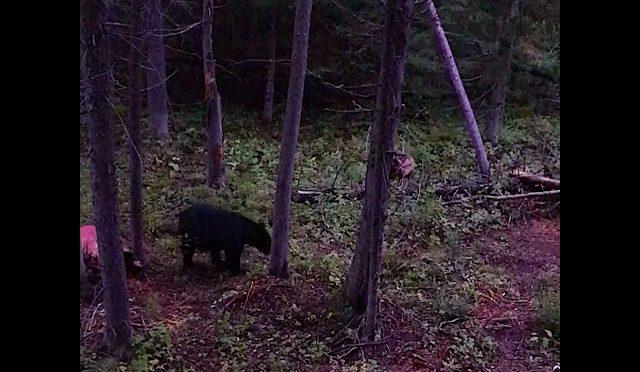 Bow Hunting A HUGE Black Bear