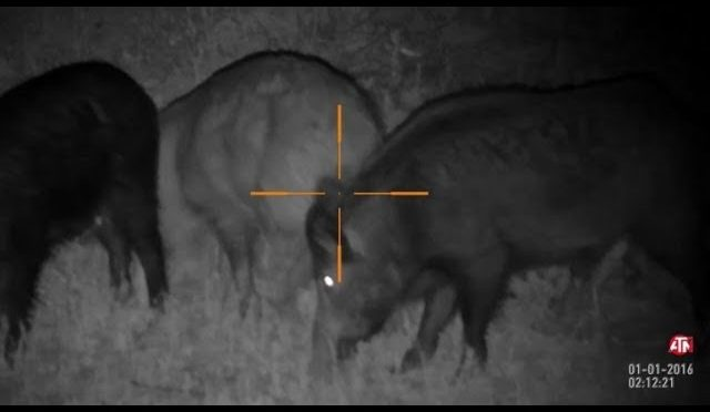 Hog Hunting Boar at Night
