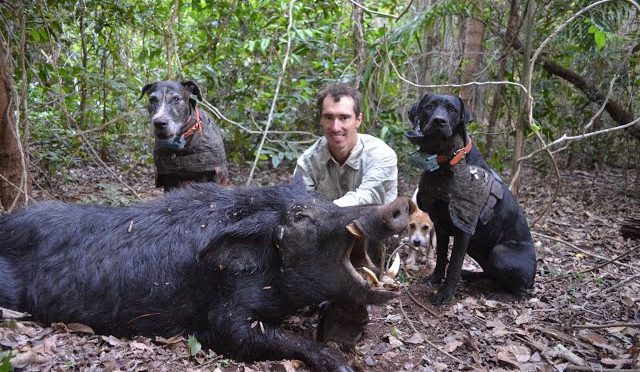 Wild Boar Hunting with dogs Action Compilation part 1