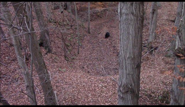 BEAR SHOT TWICE w/ RECURVE : Pennsylvania Bear Archery