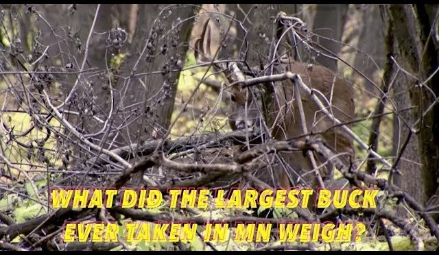 DEER HUNTING FACTS: What Did The Largest Buck Ever Taken In MN Weigh?