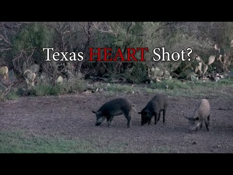 "I Killed the Pig that Killed the Rat…""Texas Heart Shot"" on Wild Hog?"