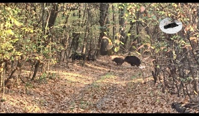 Wild boar hunting in Romania #2
