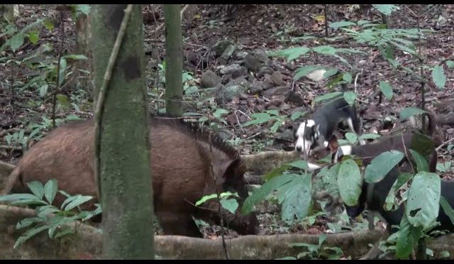 Wild Boar Hunting with Dogs, by Boat in Australia (pt 2)