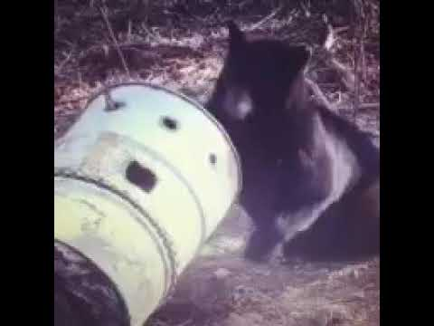 Alberta bear hunting