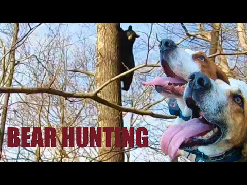 BEAR ESCAPE!   BEAR HUNT WITH HOUNDS