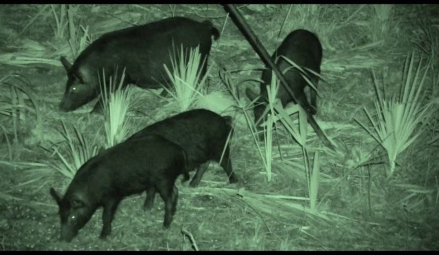 Longbow Hunting Florida Hogs At Night