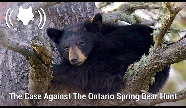 The Case Against The Ontario Spring Bear Hunt