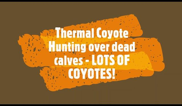 Thermal Coyote Hunting Over A Pile Of Dead Calves – LOTS OF COYOTES! Trijicon IR Hunter 35mm